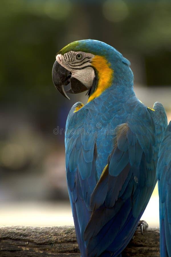 tät macaw upp arkivbilder