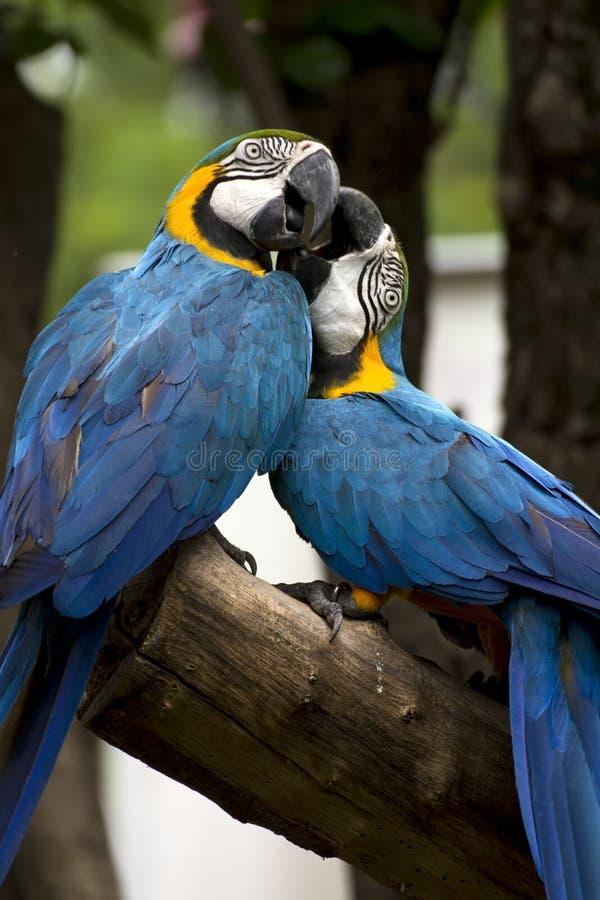 tät macaw upp royaltyfria foton