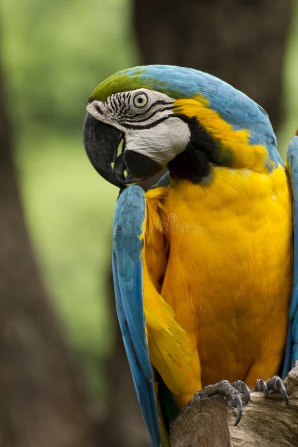tät macaw upp fotografering för bildbyråer