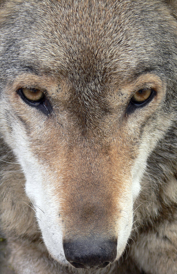 tät med textsidan upp wolf royaltyfri bild