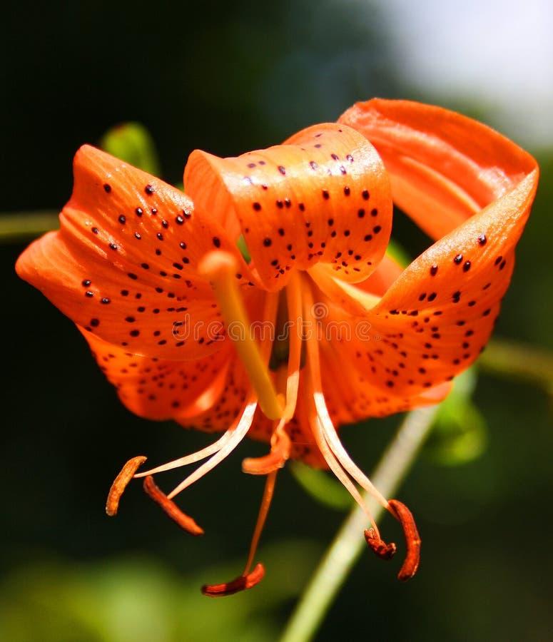 tät orange orchid upp arkivfoto