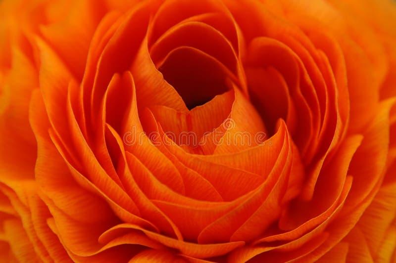 tät orange renuncula upp arkivfoto