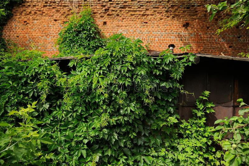 Tät overgrowth av den gröna murgrönan på den gamla tegelstenväggen royaltyfri fotografi