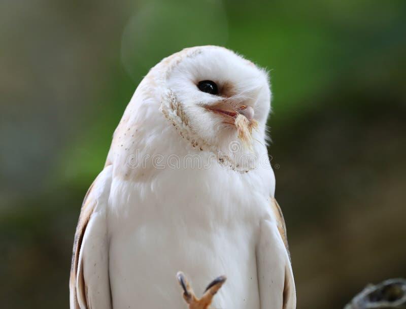 tät owl för ladugård upp fotografering för bildbyråer