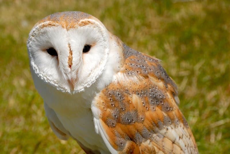 tät owltytonidae för ladugård upp royaltyfria bilder