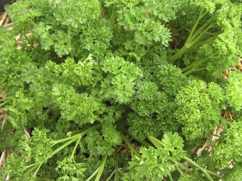 tät parsley upp royaltyfria foton