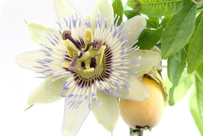 tät passiflora upp arkivfoton