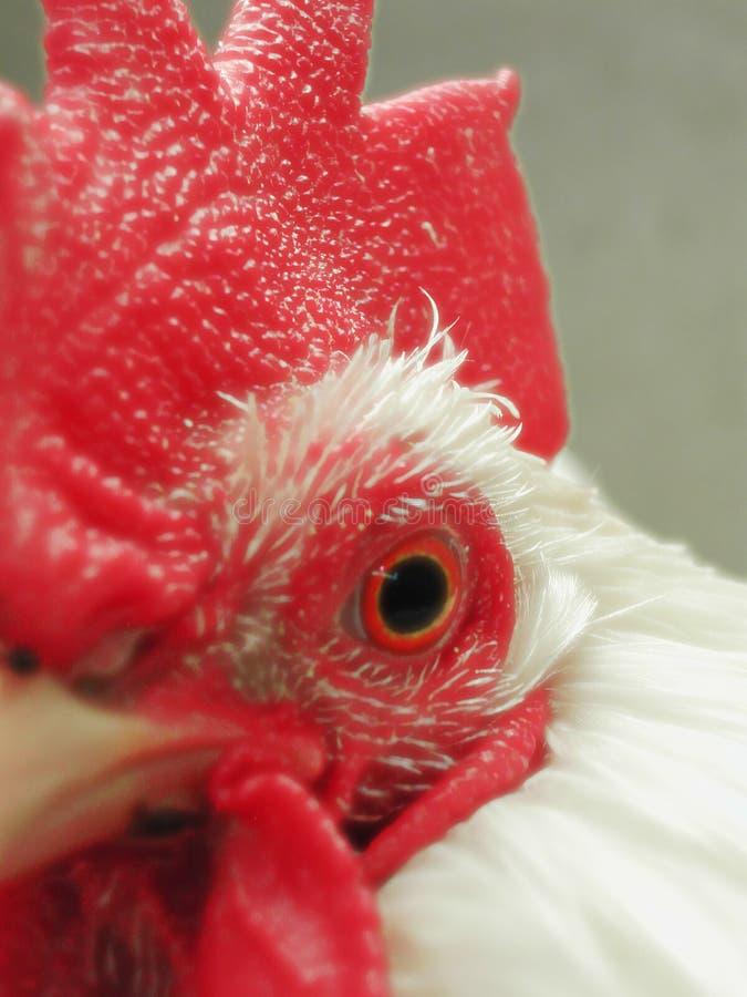 Tät Rooster Upp Royaltyfri Foto