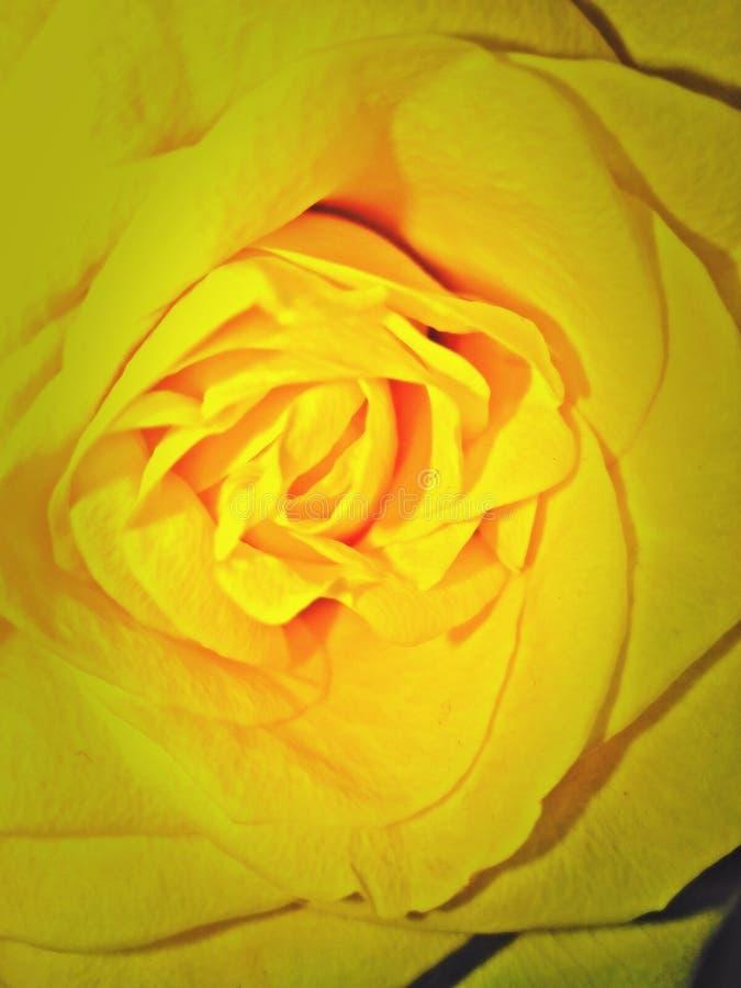 tät rose övre yellow fotografering för bildbyråer