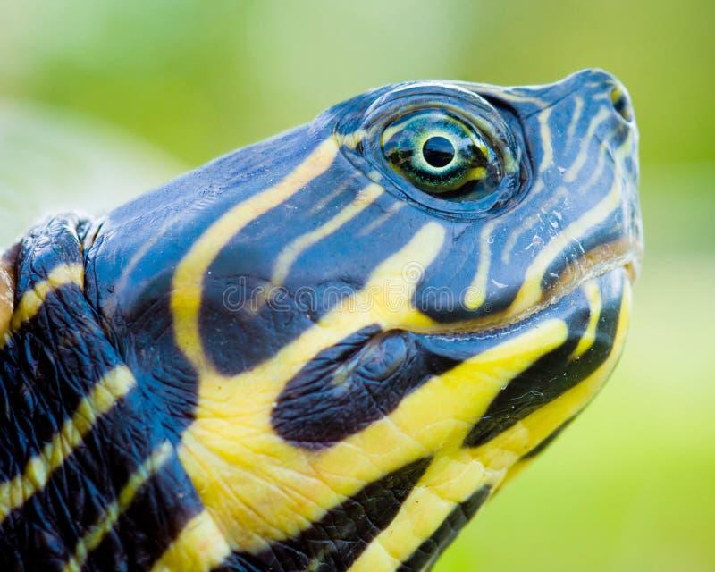 tät sköldpadda upp fotografering för bildbyråer