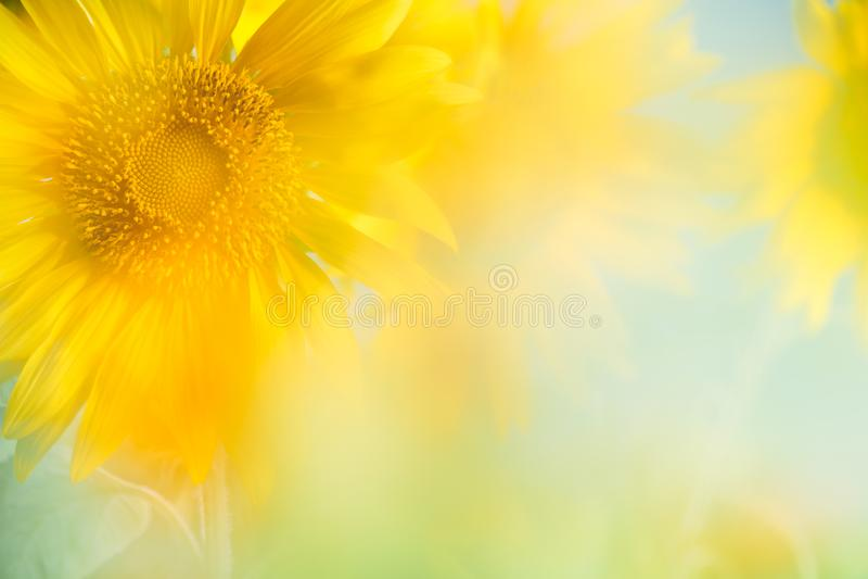 tät solros för bakgrund upp royaltyfri fotografi