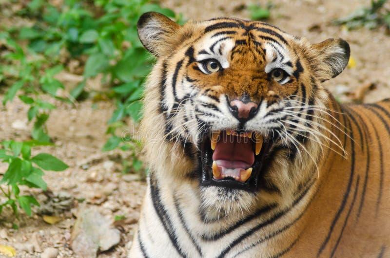 tät tiger upp fotografering för bildbyråer