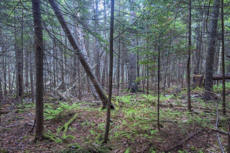 Tät vildmarkskog i kust- Maine royaltyfri foto