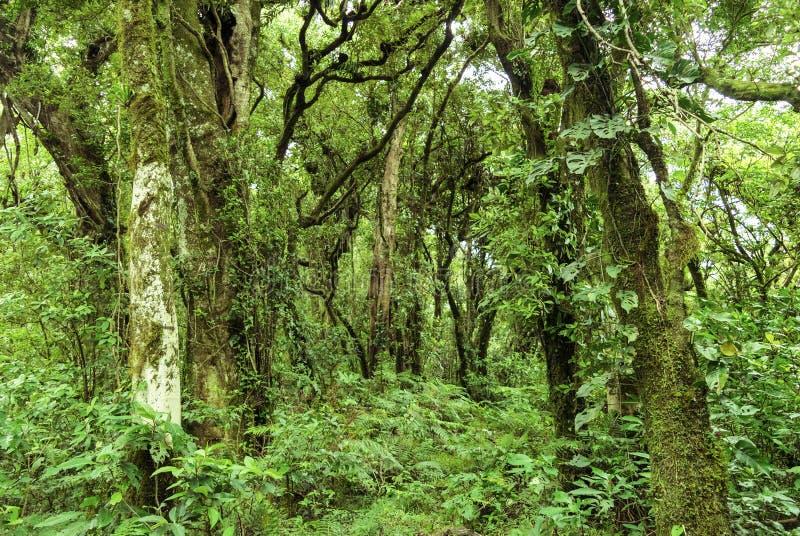 Tät vintergrön skog royaltyfria bilder