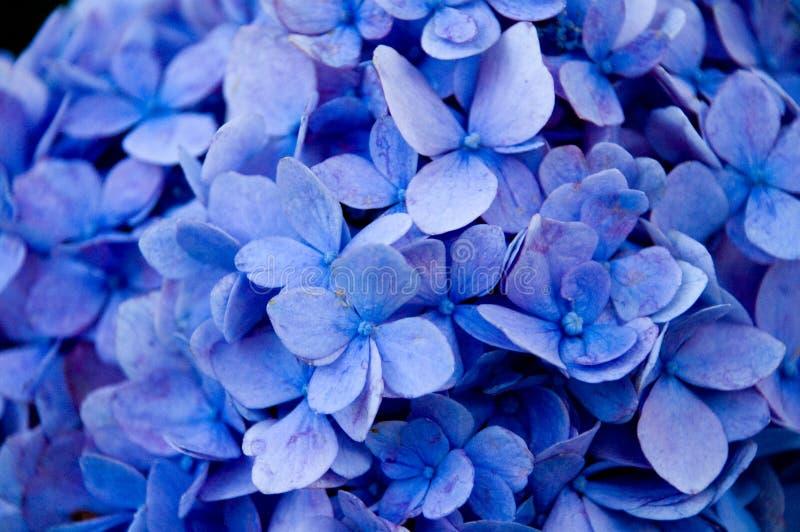 täta blommor för blue upp royaltyfri fotografi