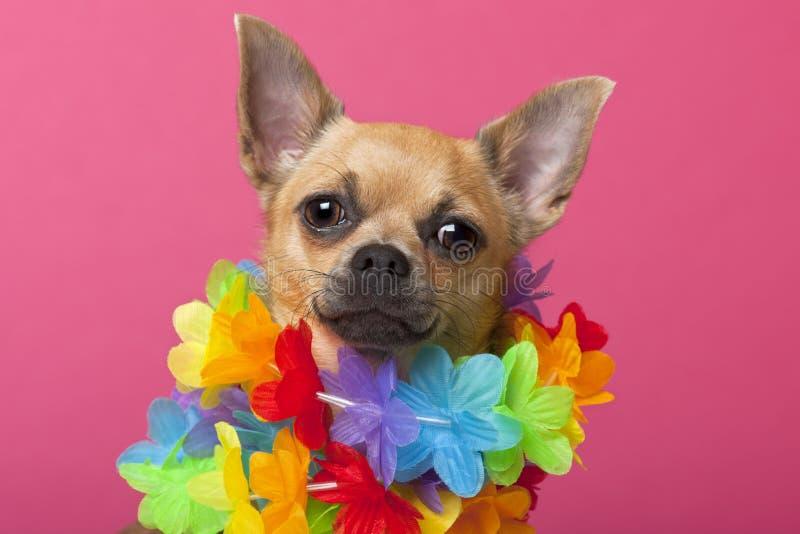 täta färgrika lei för chihuahua som slitage upp fotografering för bildbyråer