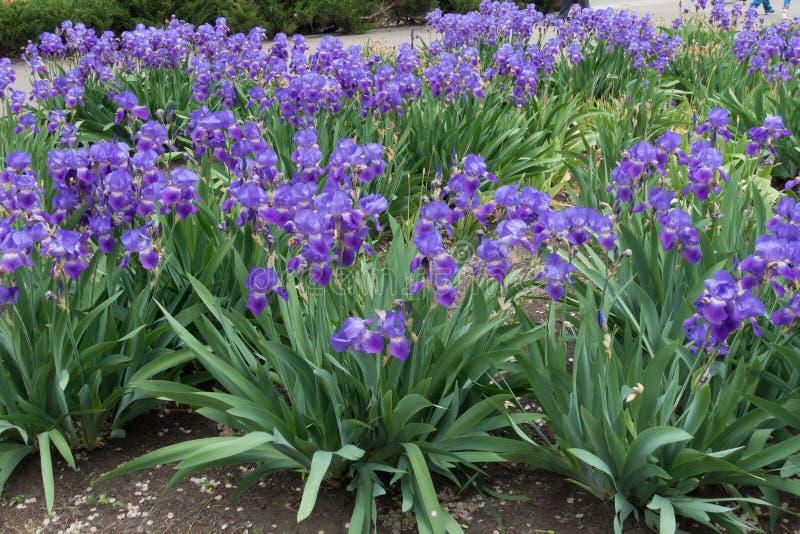Täta ruggar av den skäggiga irins med massor av violetta blommor arkivfoto
