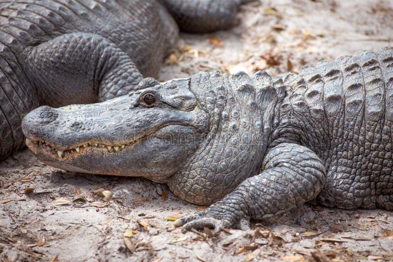 tätt övre för alligator royaltyfria foton