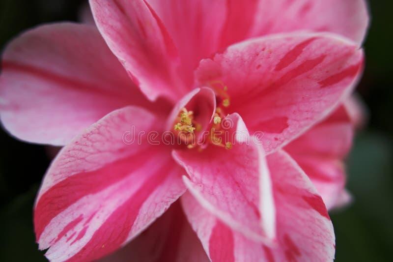 tätt övre för camellia arkivbilder