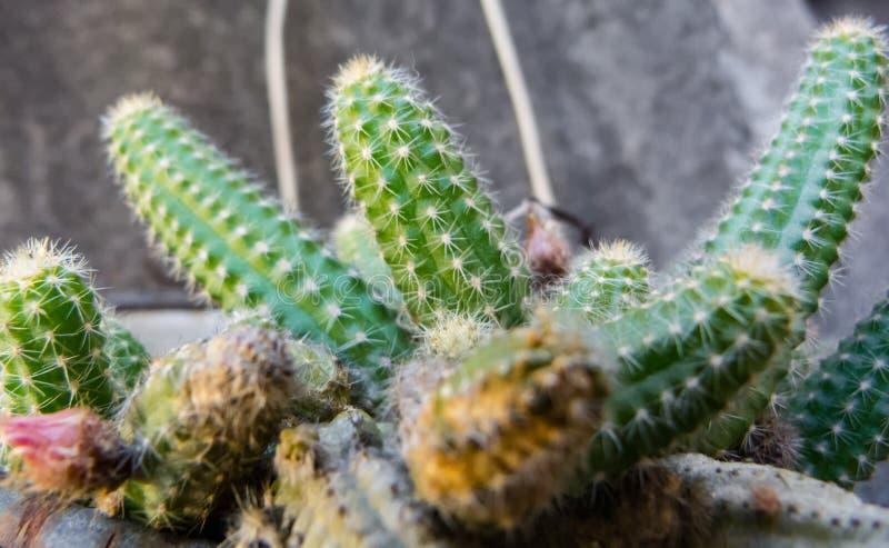 tätt övre för kaktus arkivbilder