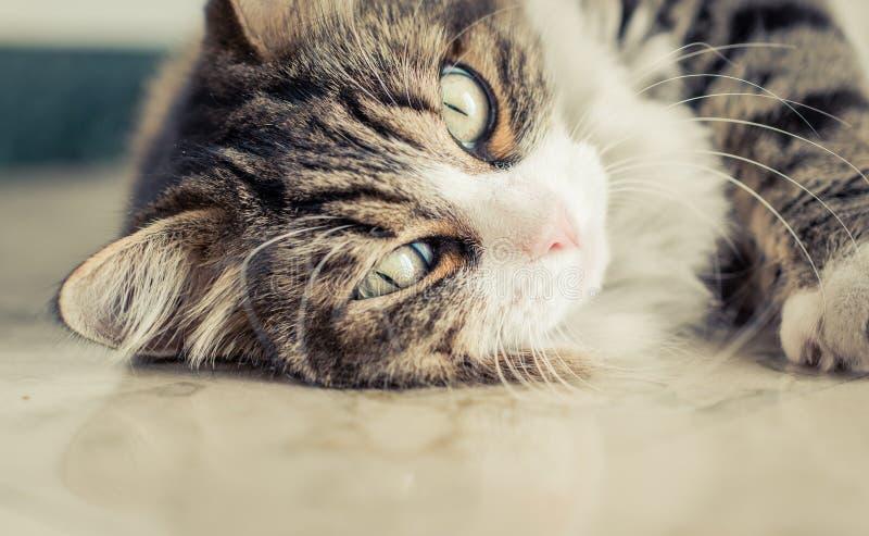 tätt övre för katt fotografering för bildbyråer