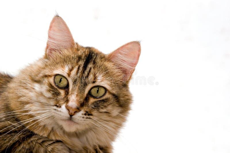 tätt övre för katt royaltyfri bild
