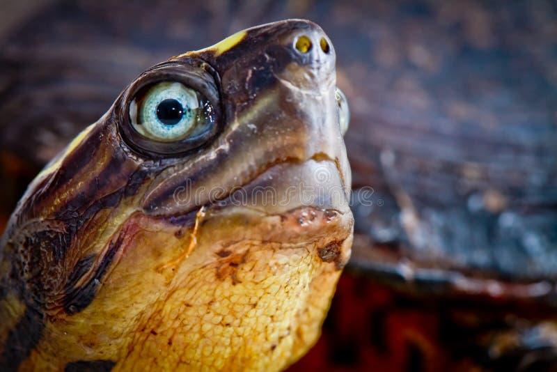 Tätt övre för sköldpadda arkivbild