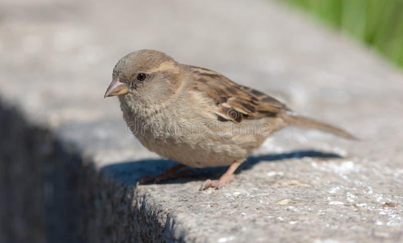 Tätt övre för Sparrow royaltyfria foton