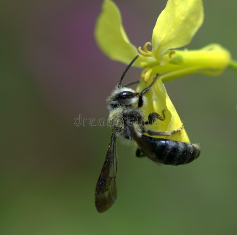 Tätt övre för Wasp arkivbilder