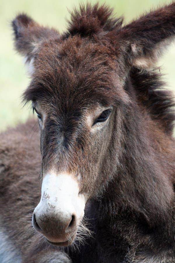 tätt övre wild för burro arkivfoton
