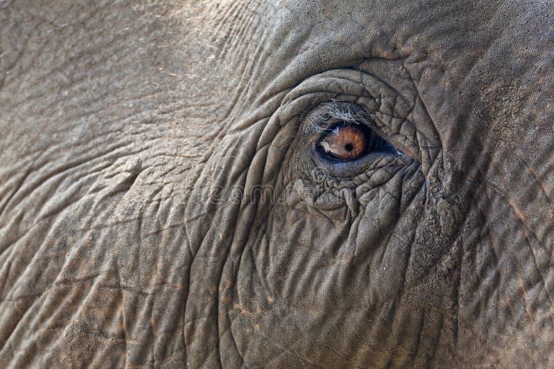 tätt elefantöga upp arkivfoton