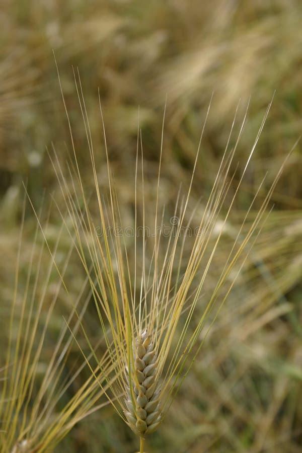 tätt fält för korn upp royaltyfri foto