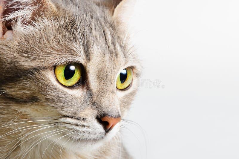 tätt huvud för katt upp arkivbilder