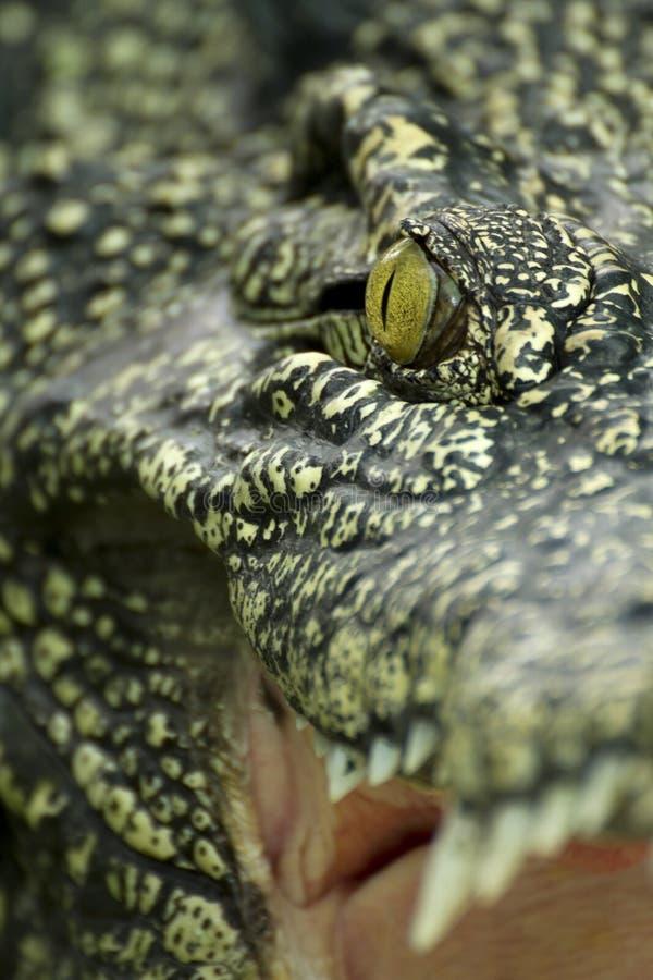 tätt krokodilöga upp royaltyfria bilder