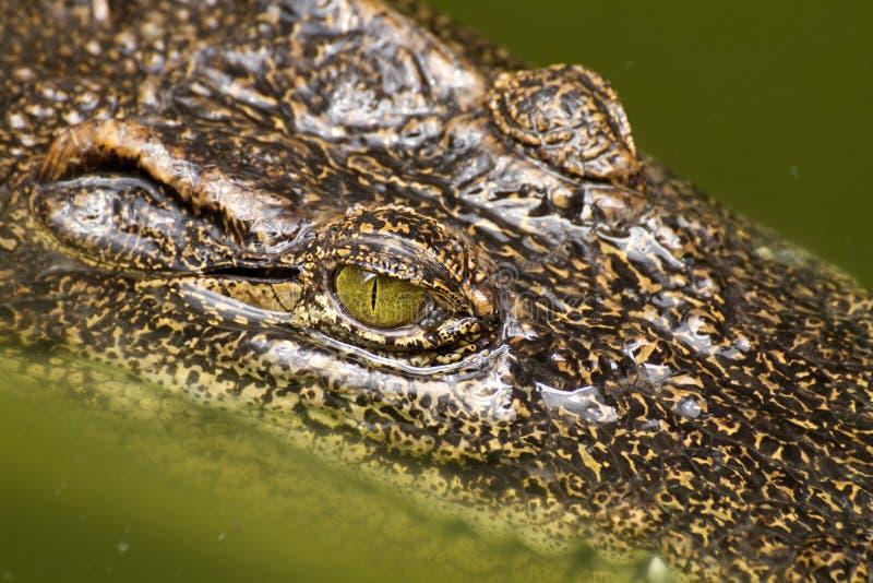 tätt krokodilöga upp fotografering för bildbyråer