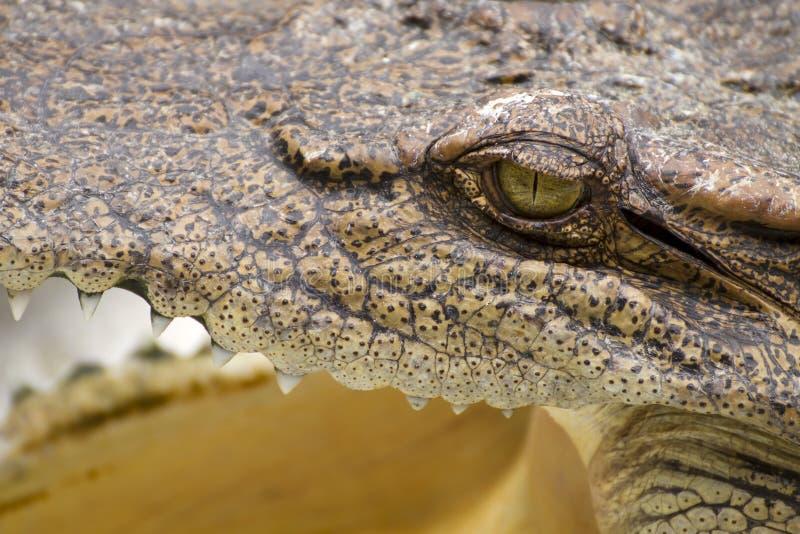 tätt krokodilöga upp royaltyfri foto