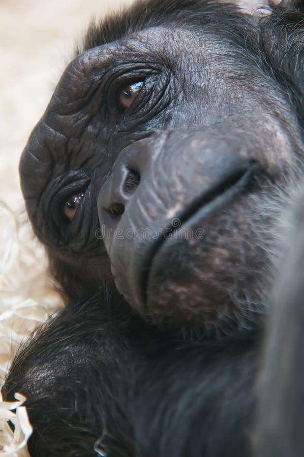 tätt med textsidan upp för schimpans arkivbild