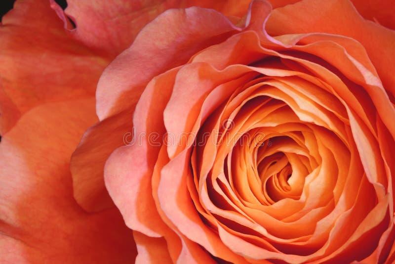 tätt orange rose övre fotografering för bildbyråer