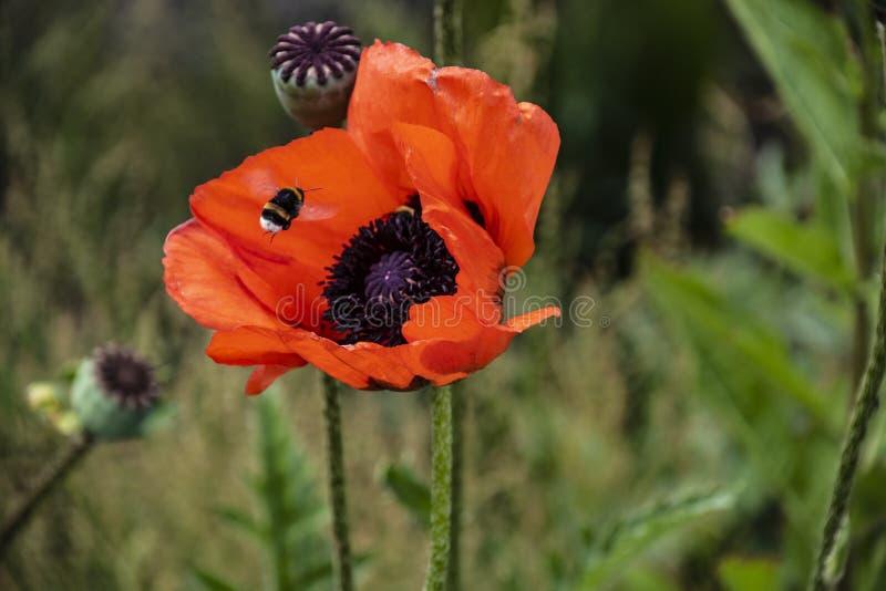 Tätt upp att stappla biet på röd vallmopollenbakgrund, kryp i sommar Stappla biet p? den ljusa r?da blomman royaltyfri fotografi