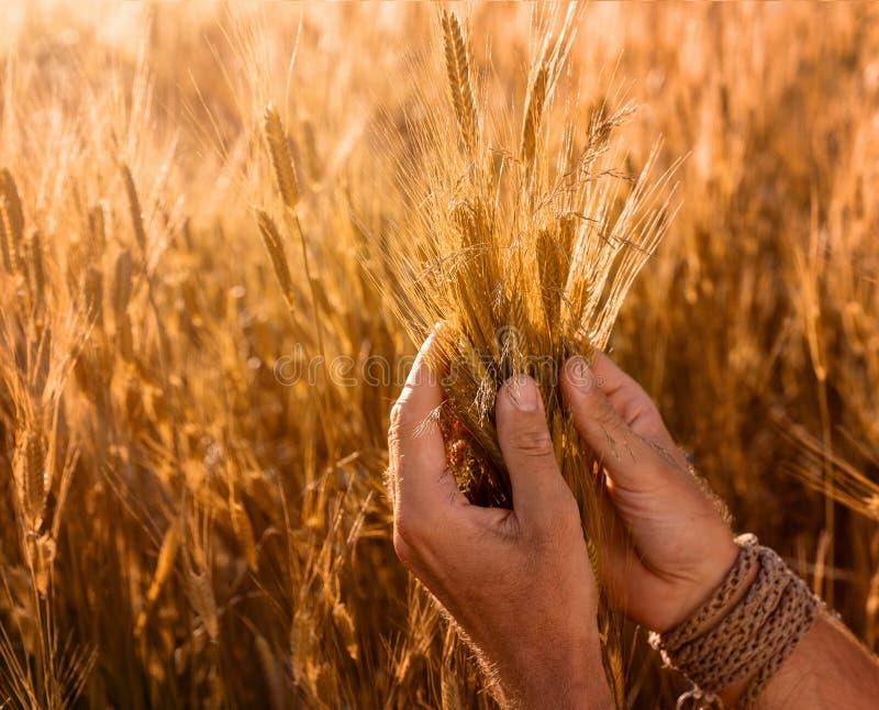 Tätt upp av bondes händer som kontrollerar kvaliteten av öron av vete arkivbilder