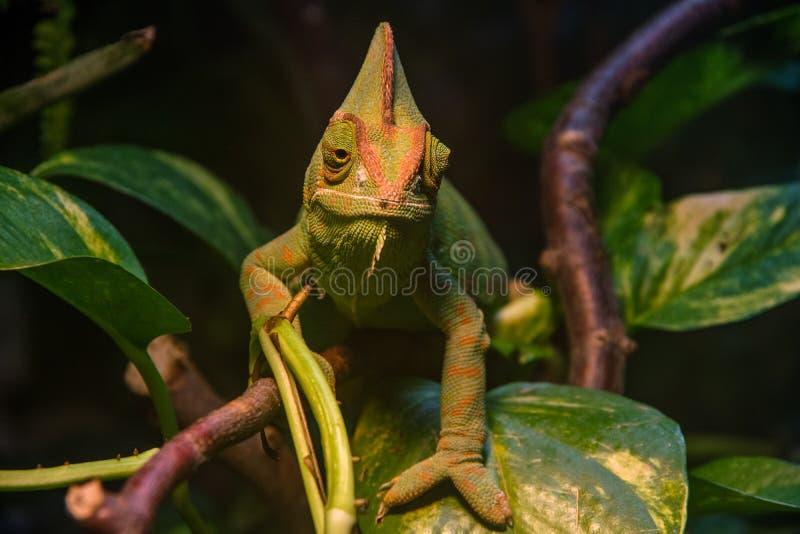 Tätt upp, främre sikt av den gröna beslöjade kameleontChamaeleocalyptratusen royaltyfria foton