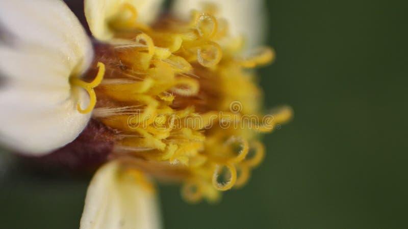 Tätt upp OS en anthler och en stigma av en vit och gul blomma royaltyfri foto