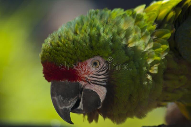 Tätt upp Pickels hjälper en stor grön militär papegoja med försöken för LAzoobeskydd royaltyfria bilder