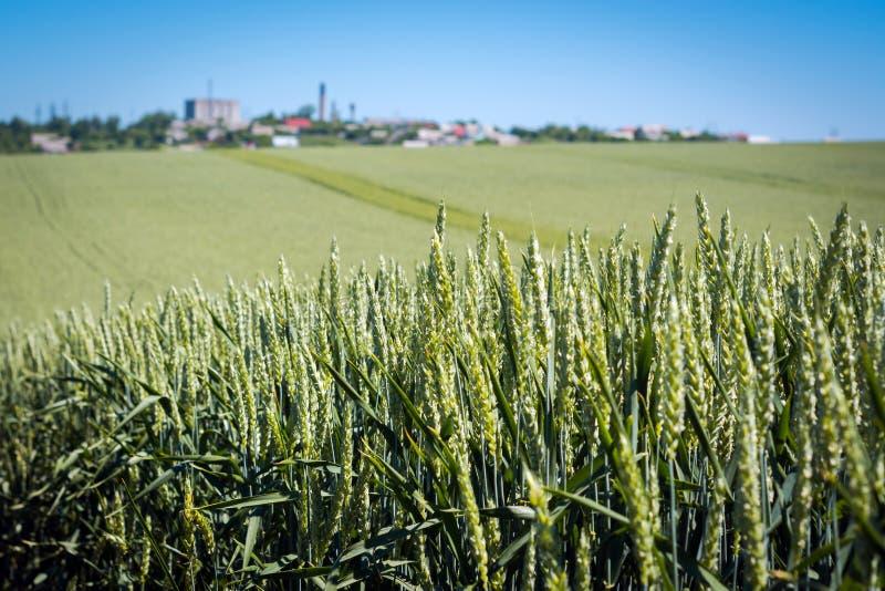 Tätt vete med fullt korn som mognar grova spikar på bakgrunden av fältet och himlen fotografering för bildbyråer