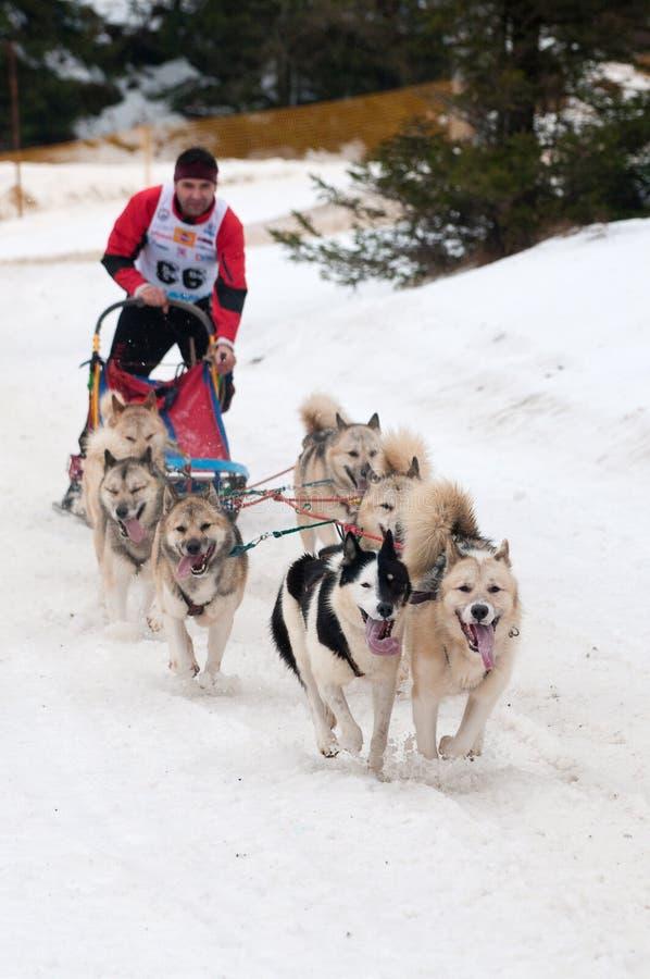 tävlings- sled slovakia för hund donovaly royaltyfri bild