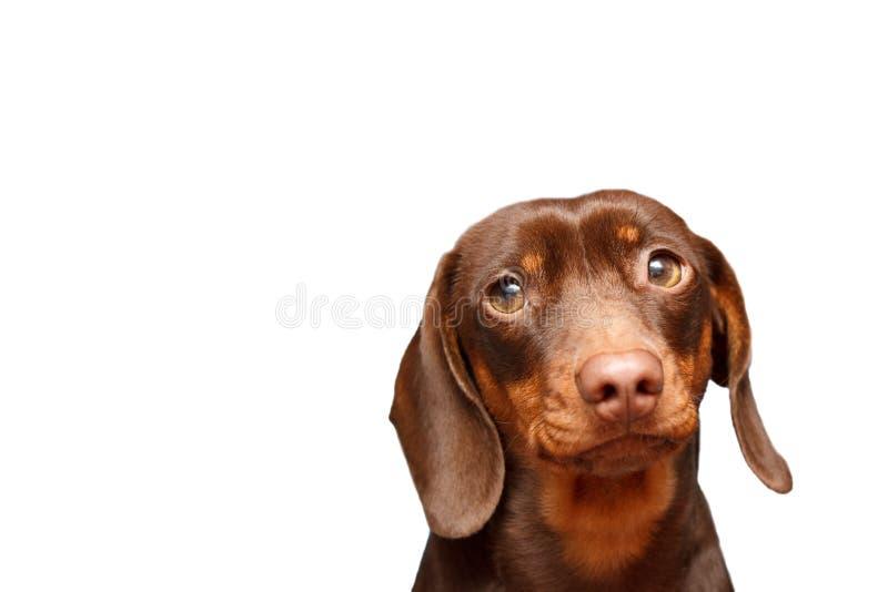 tła jamnika pies odizolowywający nad biel blisko portret zdjęcie stock