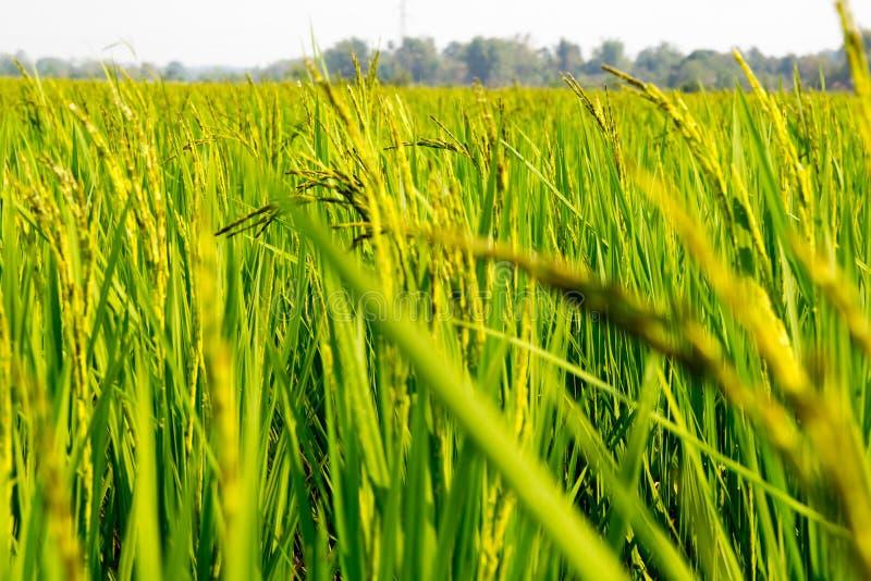 Tło Ryżowy plantacji pole zdjęcia stock