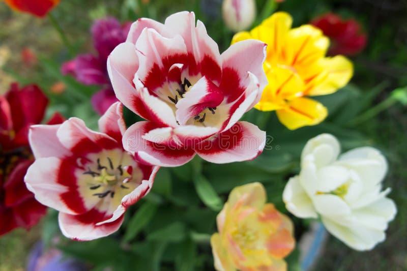 Tło stubarwni tulipany kwitnie na ogrodowym łóżku w wiośnie na widok obrazy royalty free