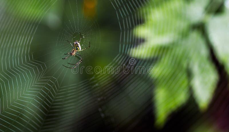 Tålmodig spindel som väntar på ett mål fotografering för bildbyråer