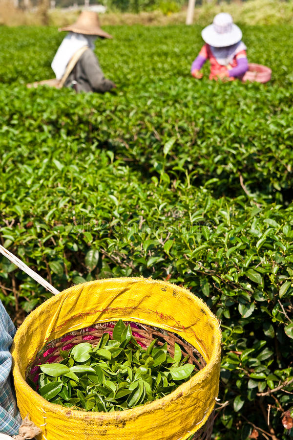 Tè che coltiva nel Nord della Tailandia fotografia stock libera da diritti